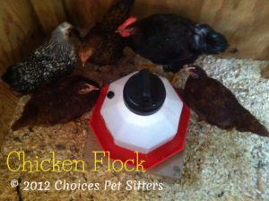 Chickens at waterer #1