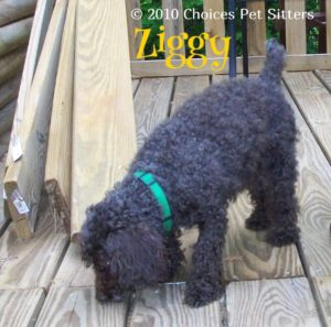 Pet Gallery - Ziggy
